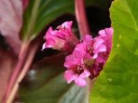 Bloemen van Schoenlappersplant - Bergenia cordifolia 'Eroica' - verstopt tussen glanzend blad
